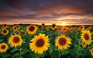 Magic-Landscape-Sunflower-Garden