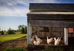 Los emprendedores Patricia Alonso y Pablo de la Fuente crean un gallinero sostenible