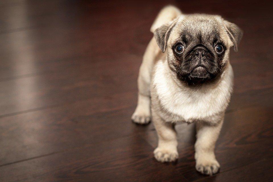 Montar una empresa de pañales desechables para perros, una idea de negocio original