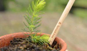 Sprout World crea un lápiz plantable que se convierte en un abeto navideño - Diario de Emprendedores